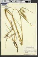 Echinochloa polystachya image