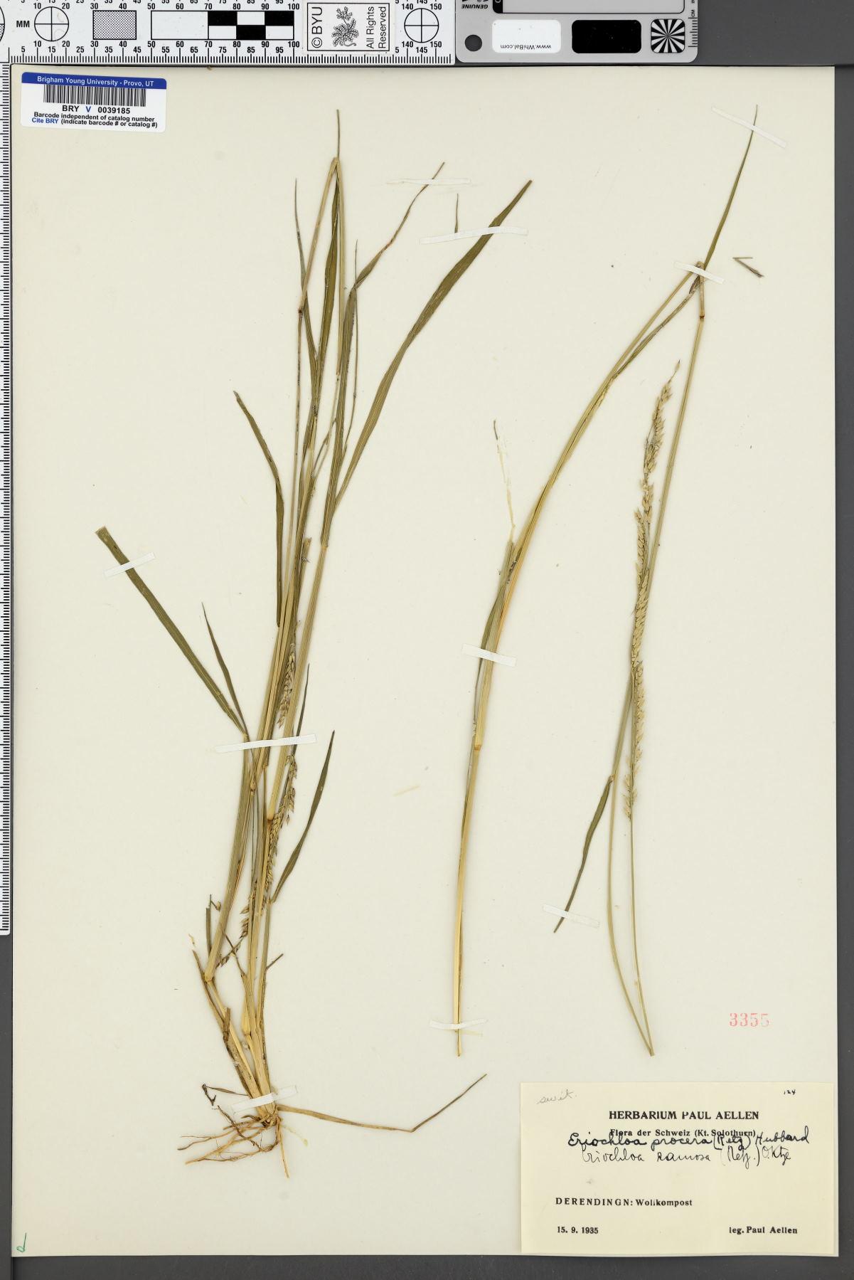 Eriochloa ramosa image