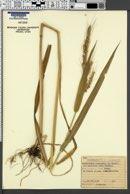 Echinochloa oryzoides image