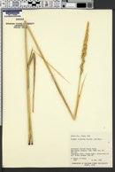 Leymus cinereus image