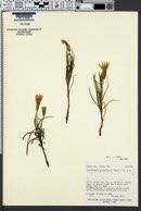 Lygodesmia grandiflora var. grandiflora image