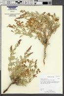 Atriplex gardneri var. cuneata image