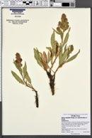 Rumex salicifolius var. utahensis image