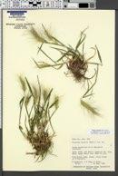 Elymus elymoides subsp. californicus image