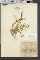 Atriplex gardneri var. utahensis image