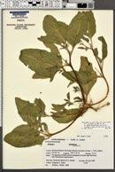 Atriplex gmelinii var. alaskensis image