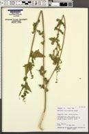 Atriplex heterosperma image