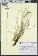 Chascolytrum subaristatum image
