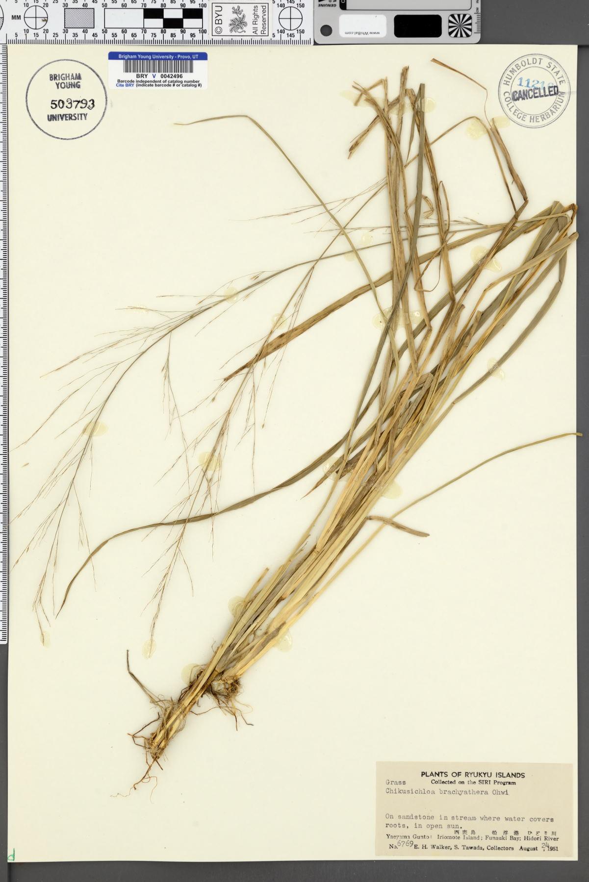 Chikusichloa brachyathera image