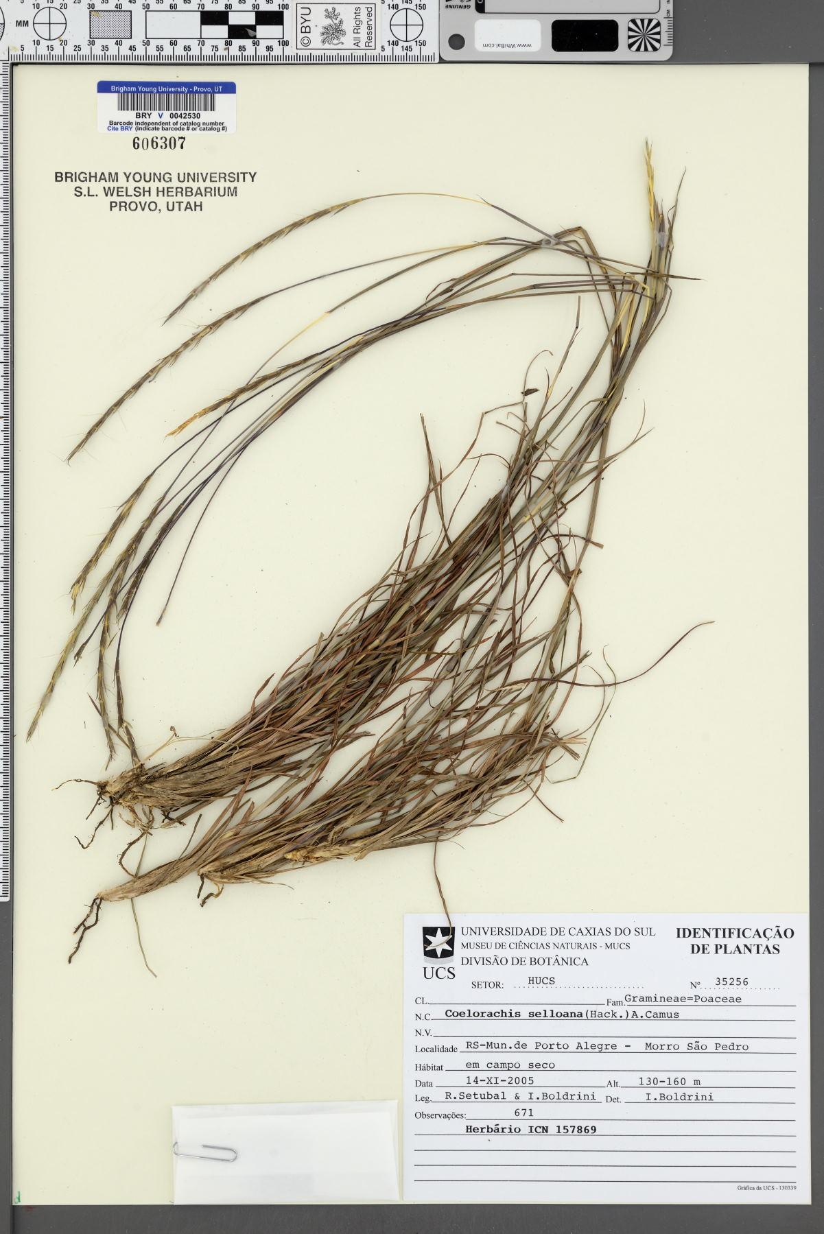 Coelorachis selloana image