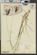Chloris barbata image