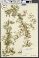 Image of Chusquea abietifolia
