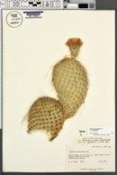 Opuntia polyacantha var. trichophora image