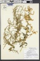 Atriplex lentiformis image