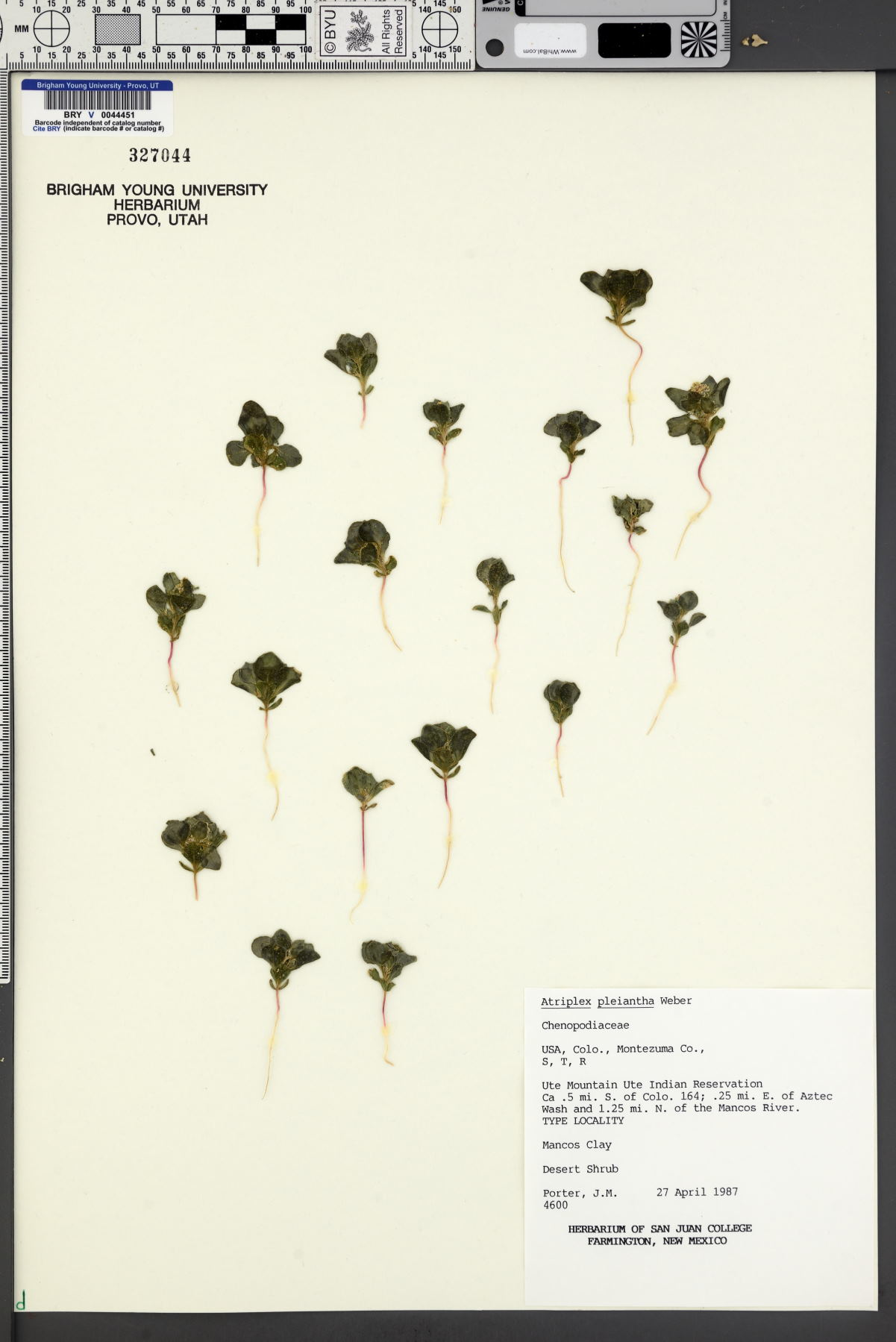Atriplex pleiantha image