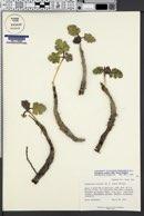 Cymopterus coulteri image