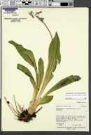 Image of Dodecatheon redolens