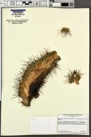 Echinocereus arizonicus image