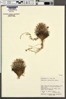 Mammillaria tetrancistra image