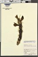 Cylindropuntia acanthocarpa var. coloradensis image