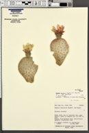 Opuntia basilaris var. heilii image