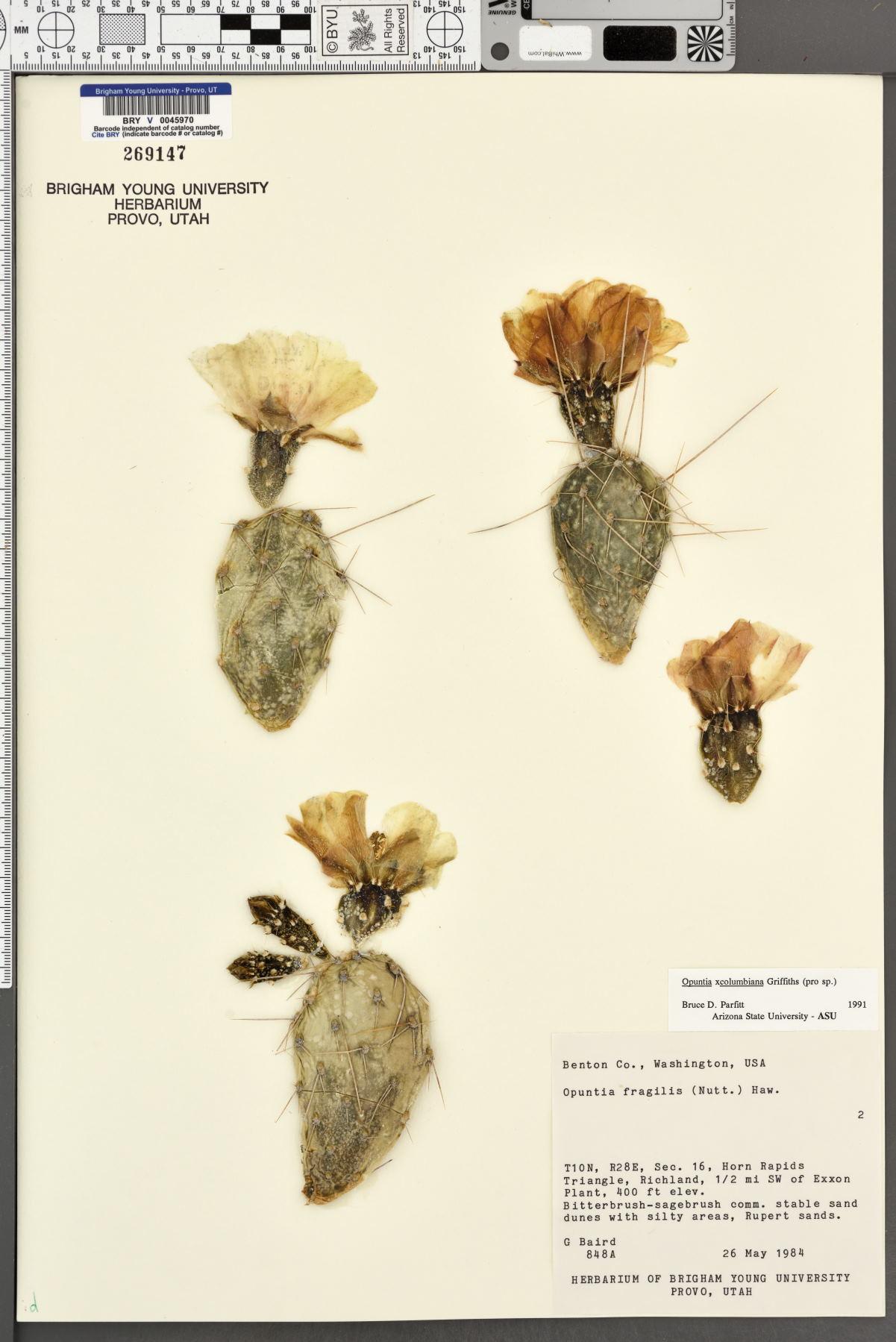 Opuntia columbiana image