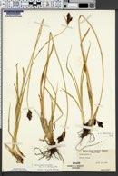 Carex heteroneura image