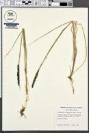 Calamagrostis lapponica image