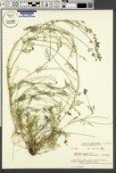 Image of Oxytropis riparia