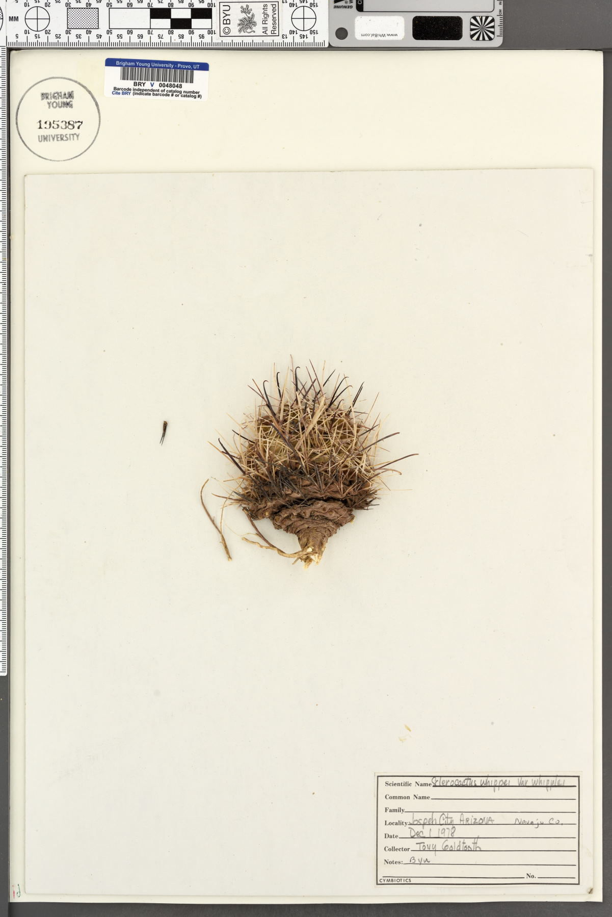 Sclerocactus whipplei var. whipplei image