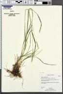 Image of Elymus subsecundus