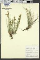 Astragalus chloodes image