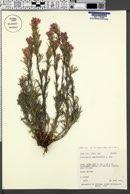 Castilleja angustifolia var. flavescens image