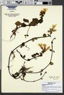 Image of Erythranthe grandis