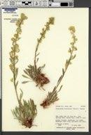 Cryptantha breviflora image