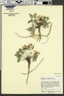 Astragalus eurekensis image