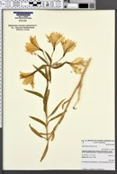 Image of Alstroemeria aurantiaca