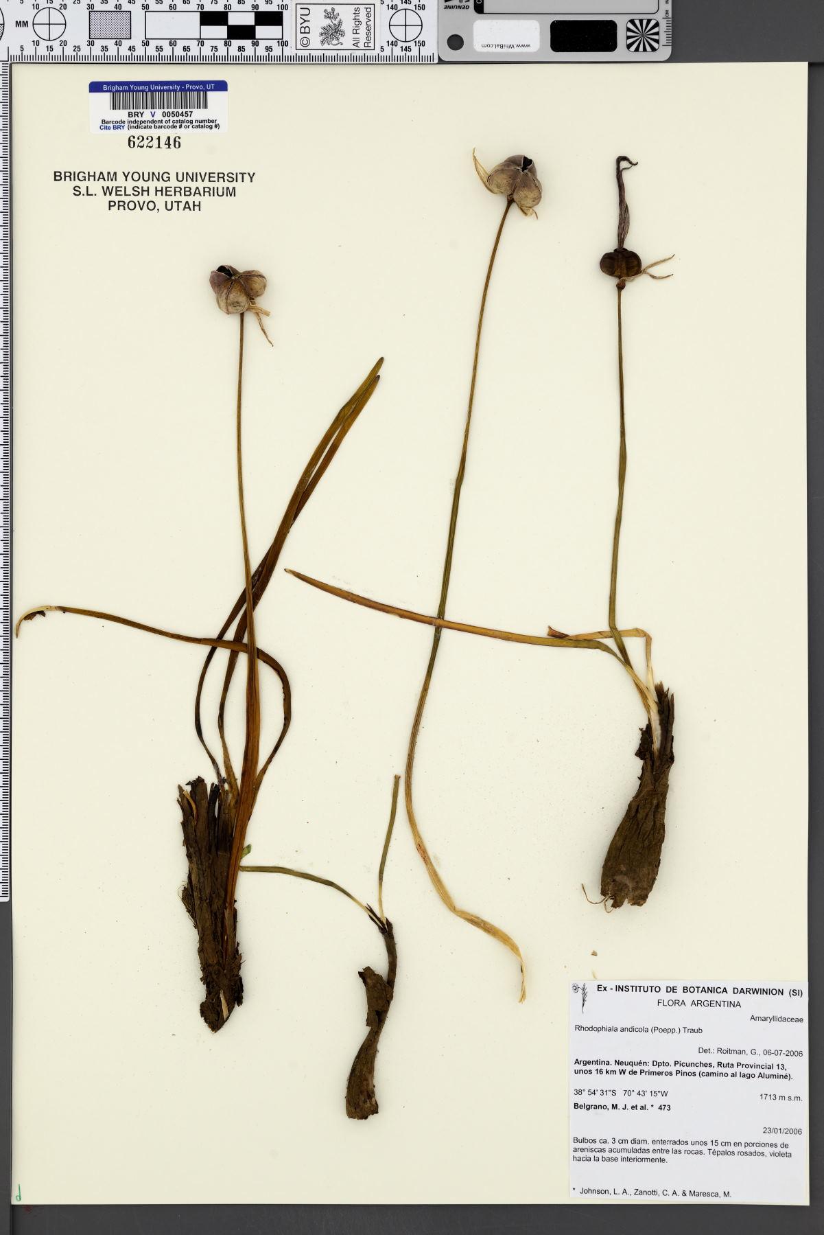 Rhodophiala andicola image