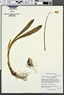 Image of Galanthus platyphyllus