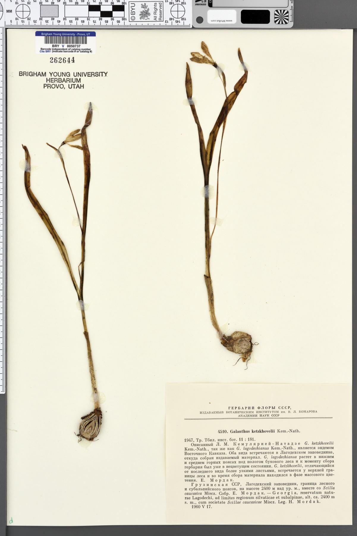 Galanthus lagodechianus image