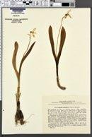 Galanthus platyphyllus image