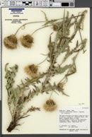 Cirsium undulatum var. undulatum image