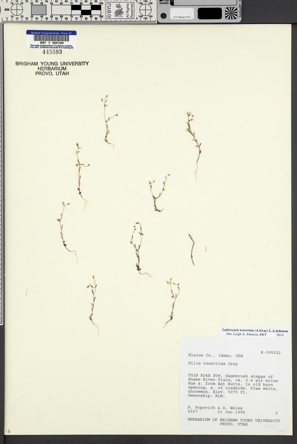 Lathrocasis image