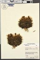 Pediocactus simpsonii image