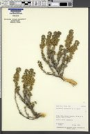 Picrothamnus desertorum image