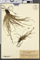 Carex halleriana image