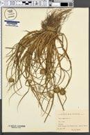 Carex bohemica image