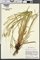 Carex debilis var. rudgei image