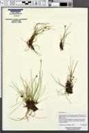 Carex dioica image