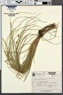 Carex bonariensis image